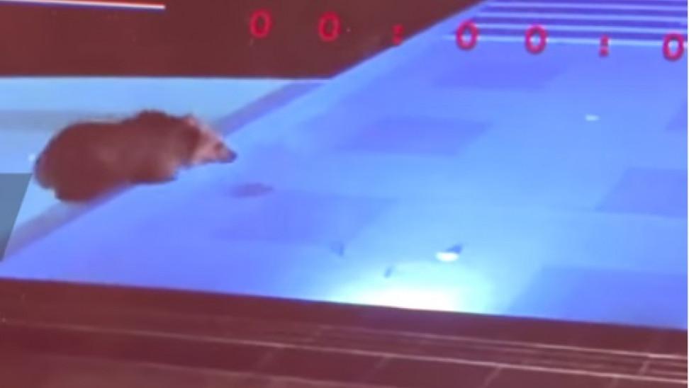 """Αρκούδα - κολυμβητής: """"Πιάστηκε"""" να δροσίζεται βράδια πισίνα ξενοδοχείου έγινε viral (Video)"""